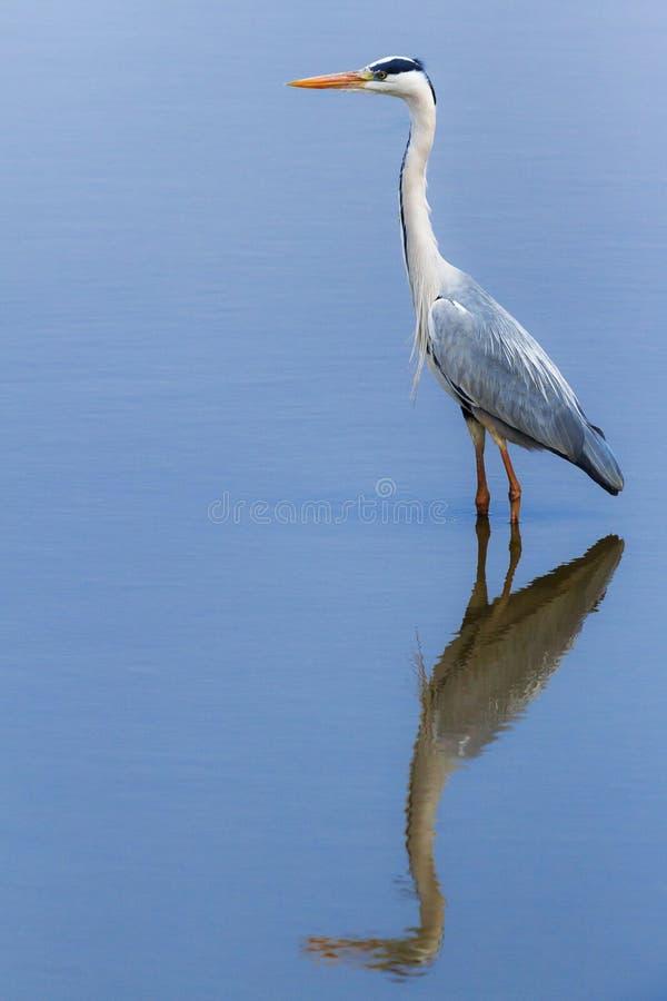 Häger för stora blått & x28; Ardeaherodias& x29; stå i ett damm, Nat Kruger arkivbild
