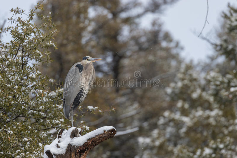 Häger för stora blått i snö fotografering för bildbyråer