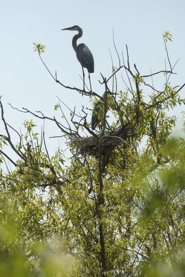 Häger för stora blått på redet i ett träd, Apopka, Florida royaltyfri fotografi