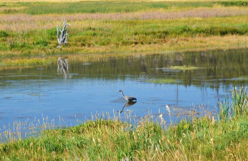 Häger i Yellowstone River fotografering för bildbyråer