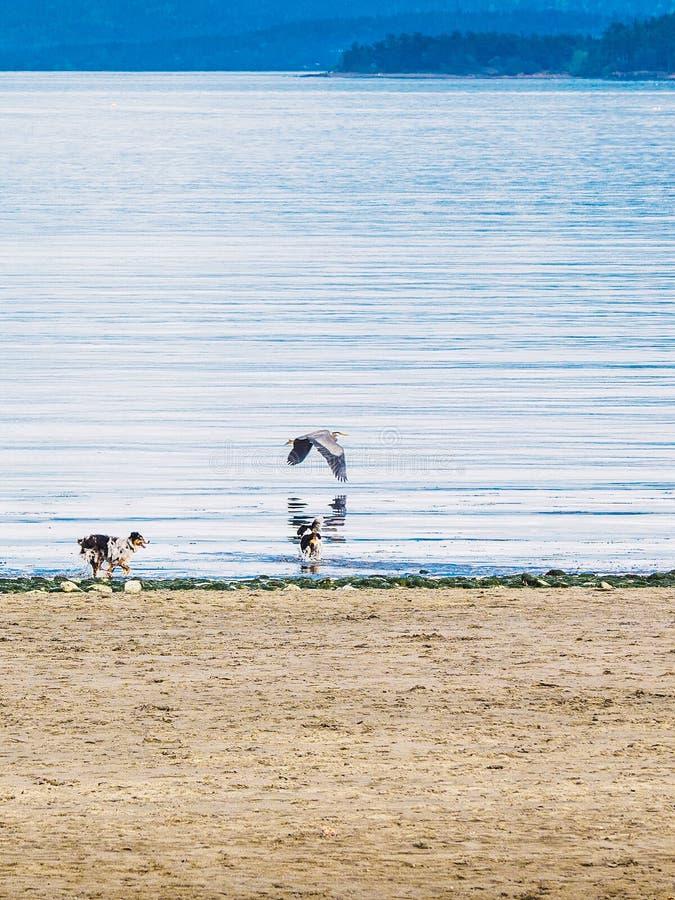 Häger och hundkapplöpning för stora blått på stranden arkivfoton