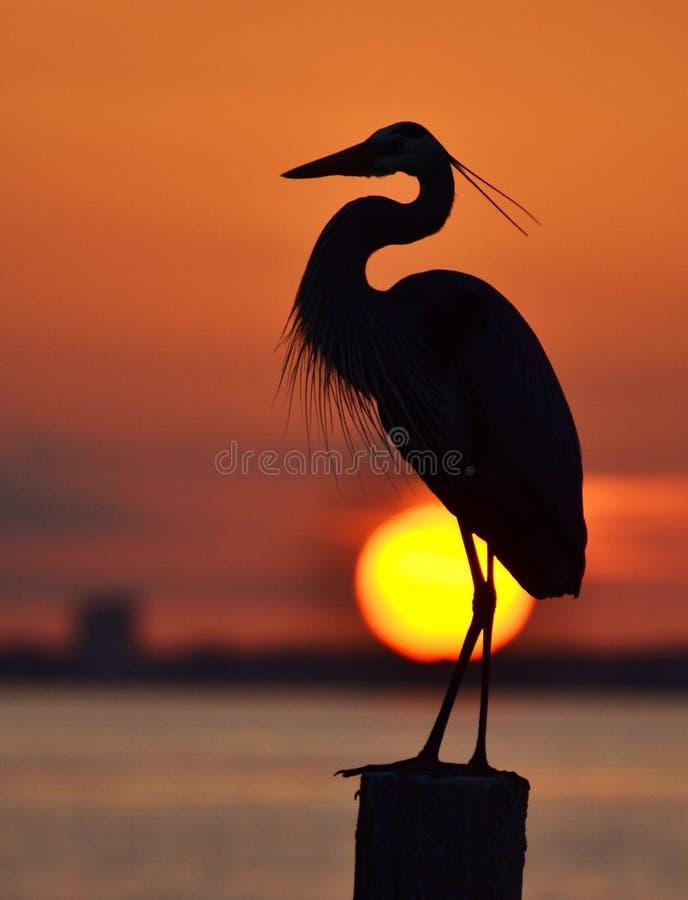 Häger på solnedgången arkivfoton