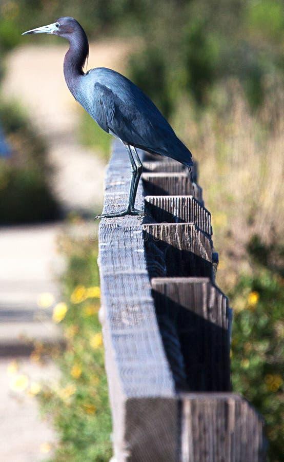 Hägeranseende för små blått på ett staket royaltyfri fotografi