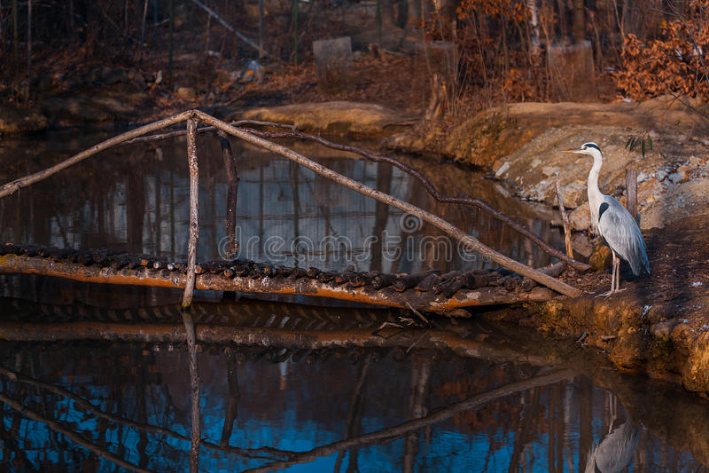Hägeranseende nära sjön i zoo arkivbild