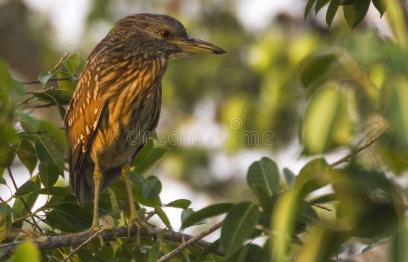 Hägerfågelslätt i ett träd i Colombia arkivbild