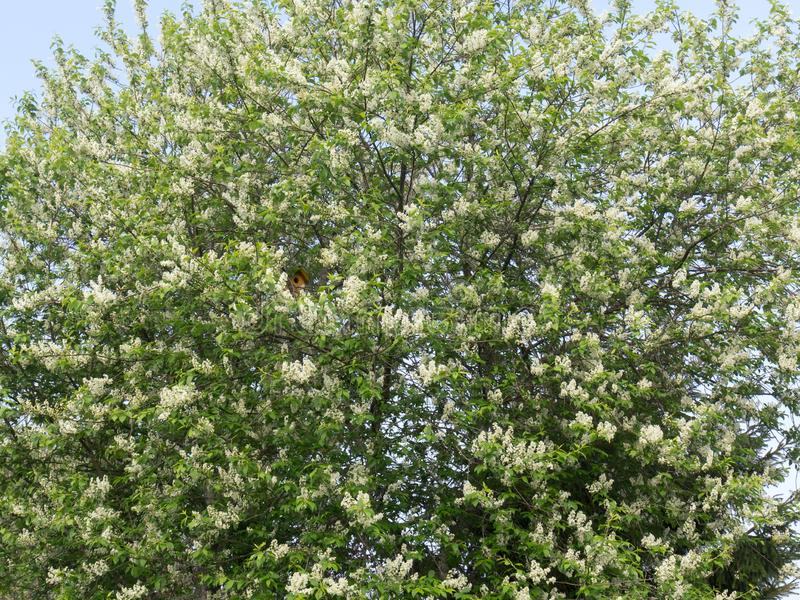 Häggträdet med unga gröna sidor och racemes av vita blommor Gul voljär bland filialerna V?rblom royaltyfria foton