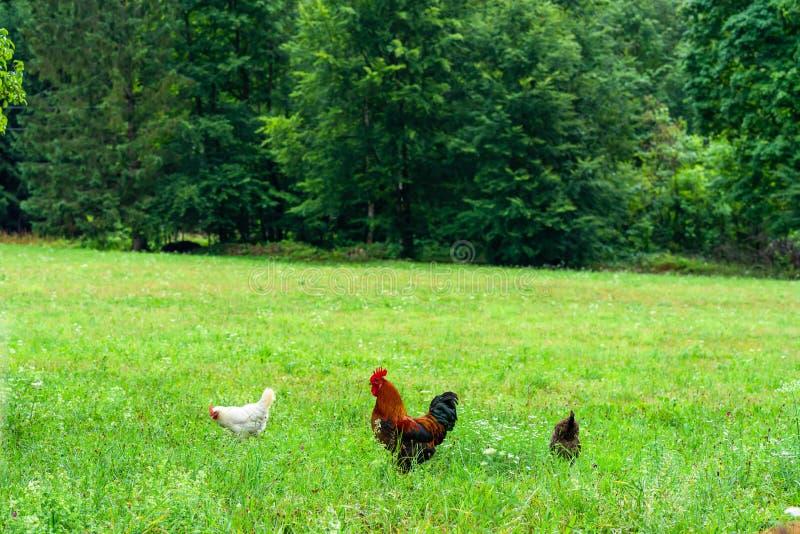 Hähnchen und Hennen auf einer Wiese lizenzfreie stockfotografie