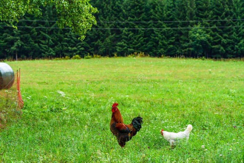Hähnchen und Hennen auf einer Wiese lizenzfreies stockbild