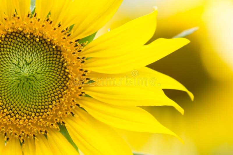 Hälfte der Sonnenblume stockbild