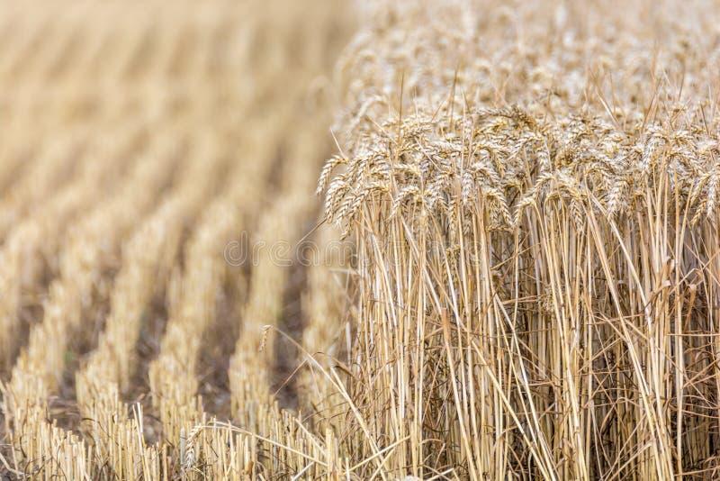 Hälfte geerntetes Weizenfeld stockfotos