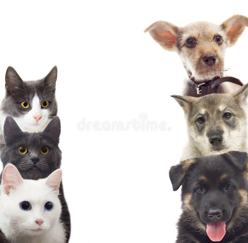 hälften för hundar för bakgrundskatter tystar ned den täta ståenden upp white royaltyfri foto