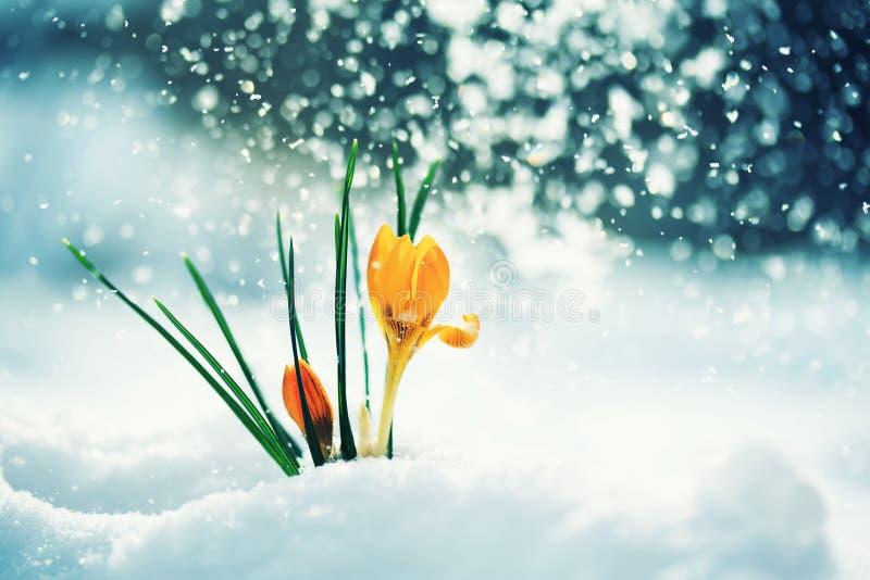 Hälsningkortet med festlig ljus guling blommar snödroppecrocu royaltyfri fotografi