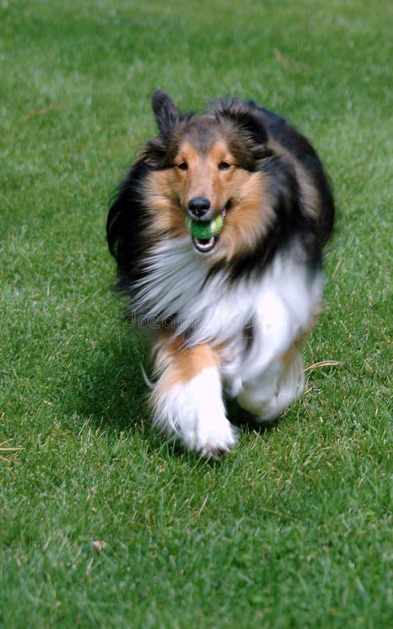 hämtande av sheepdogen shetland royaltyfria bilder