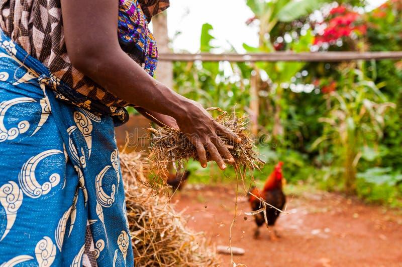 Hände der alten afrikanischen Frau in der traditionellen Kleidung, die Heu im Landschaftsbauernhof mit Tieren hält stockfotos