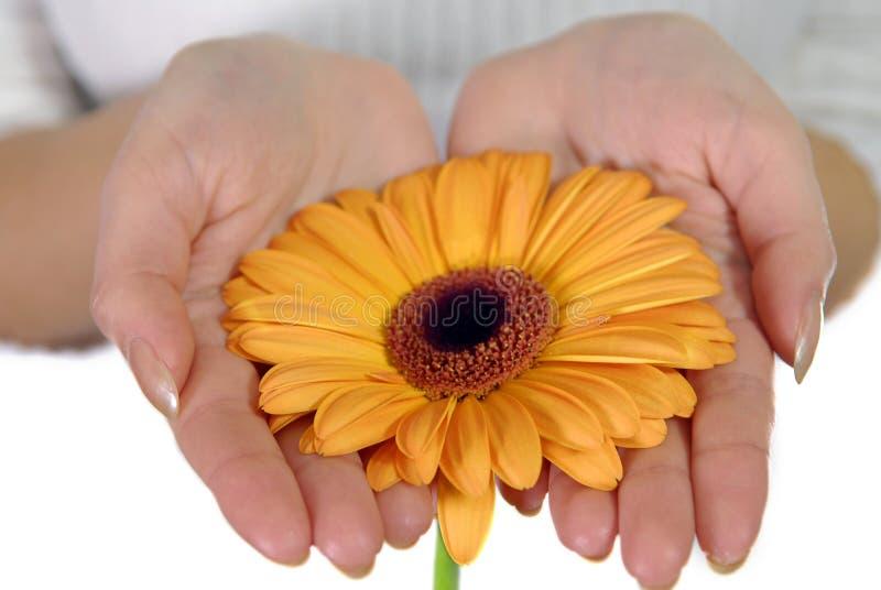 Hände der Frau, die orange Blume anhalten stockfotos