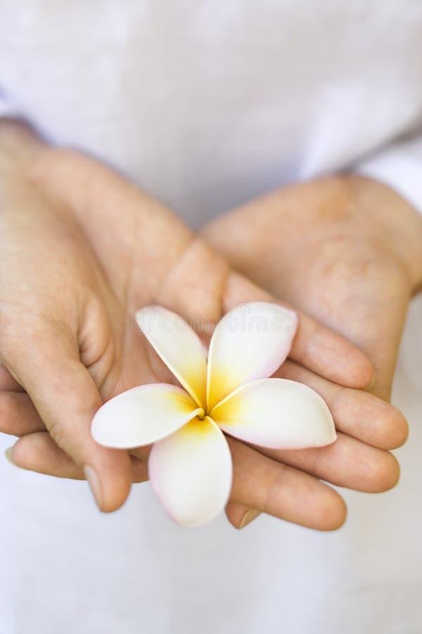Hände der Frau, die Plumeriablume anhalten. stockbilder