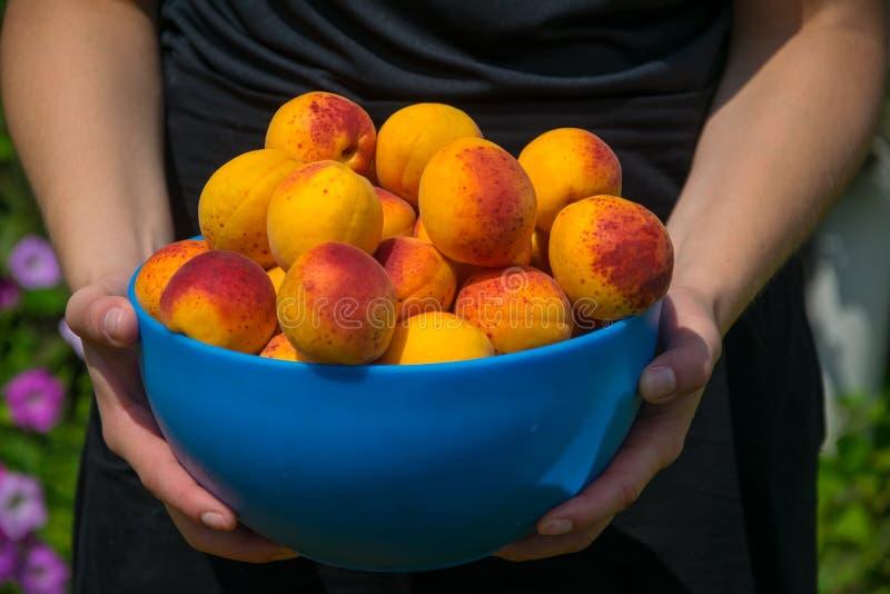 Hände der Frau eine Schüssel mit reifen Aprikosen halten lizenzfreie stockbilder