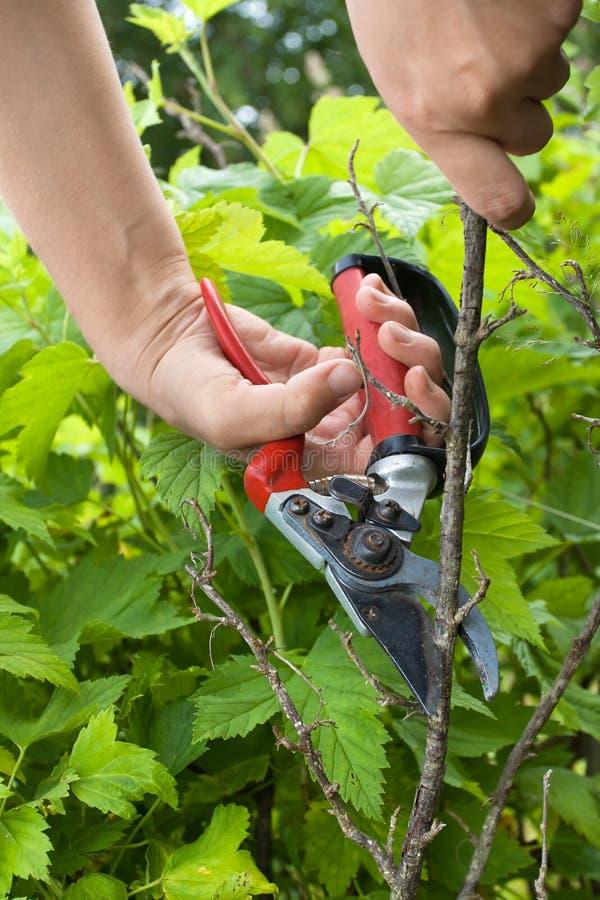 Hände des Gärtnerbeschneidungsschwarzstroms mit Baumschere stockfotografie