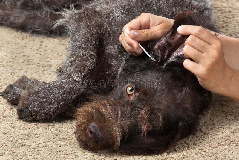 Hände, die das Ohr des Hundes vom Ohrenschmalz mit Wattestäbchen säubern lizenzfreies stockbild