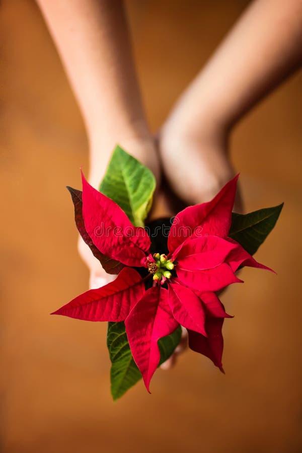 Hände, die eine blühende rote Poinsettia-/Weihnachtssternblume halten lizenzfreie stockbilder
