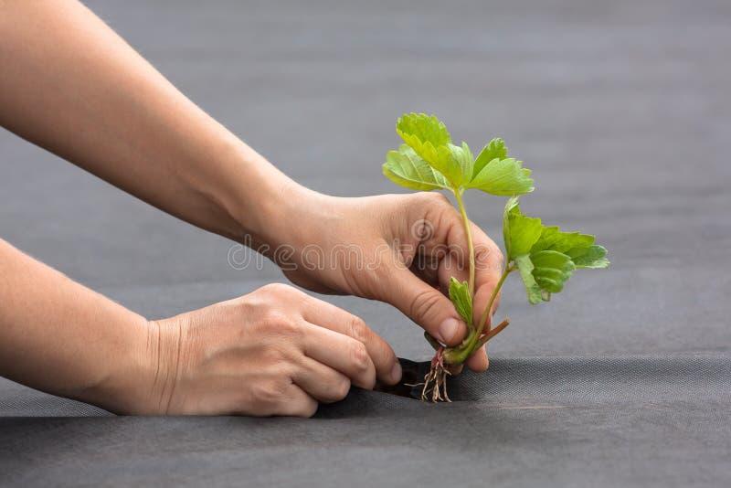 Hände, die Erdbeersämling auf spunbond pflanzen lizenzfreie stockfotografie