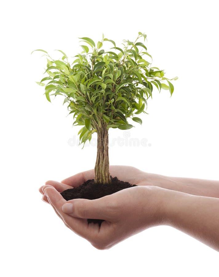 Hände, die grünen Baum anhalten stockfotografie