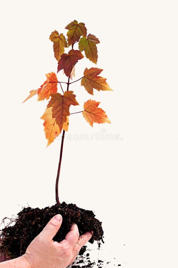Hände, die jungen Ahornholz-Baum anhalten lizenzfreies stockfoto
