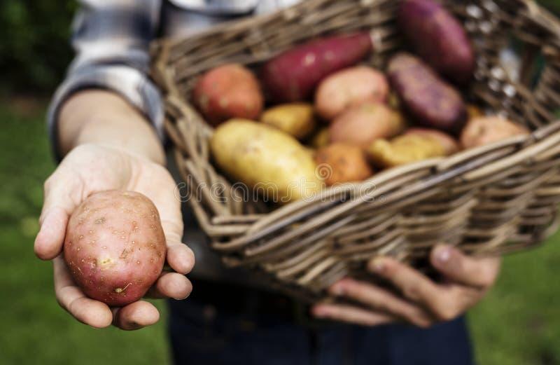 Hände, die Kartoffeln auf dem organischen Erzeugnis des Korbes vom Bauernhof halten lizenzfreie stockbilder