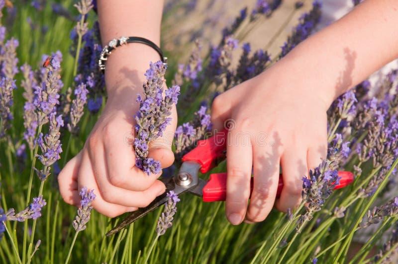 Hände, die Lavendel auswählen lizenzfreie stockfotos