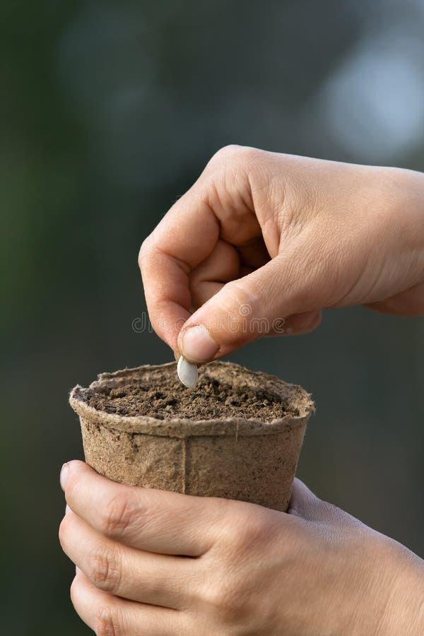Hände, die Samen im Torftopf mit Boden pflanzen lizenzfreies stockbild