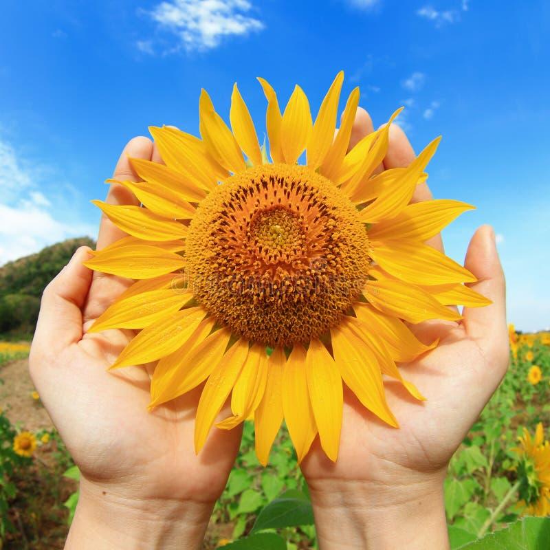 Hände, die Sonnenblume anhalten lizenzfreies stockfoto