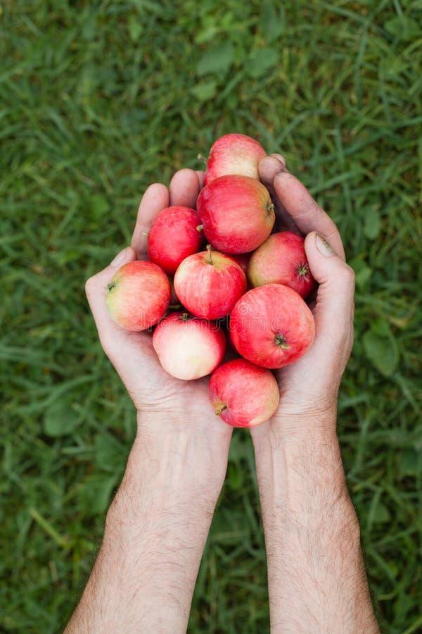 Hände mit einem roten reifen Apfel auf einem Hintergrund des grünen Grases lizenzfreie stockfotos