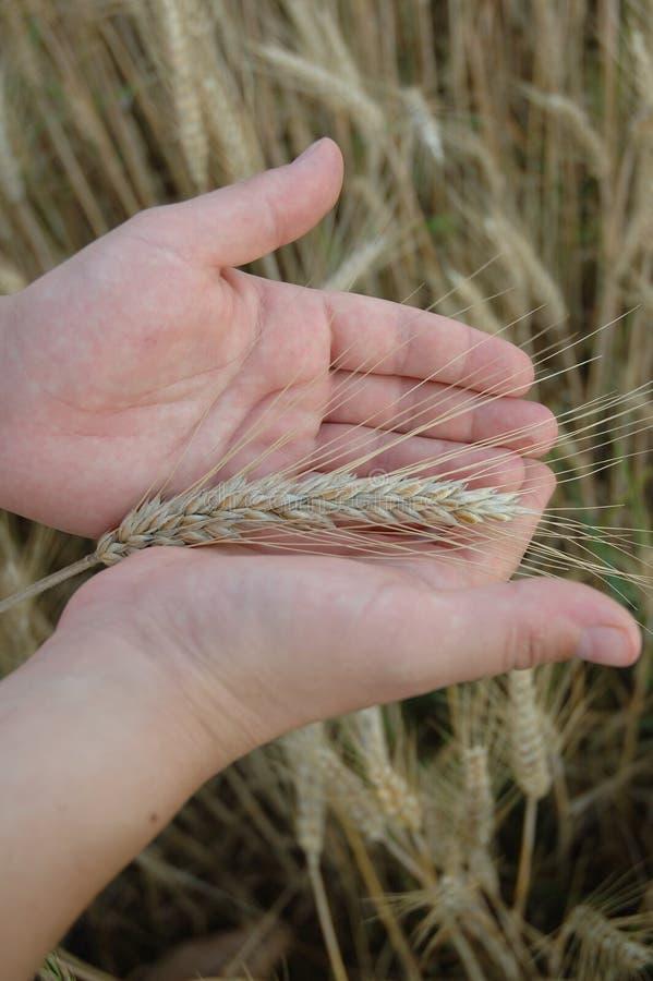 Hände und Weizen stockbild