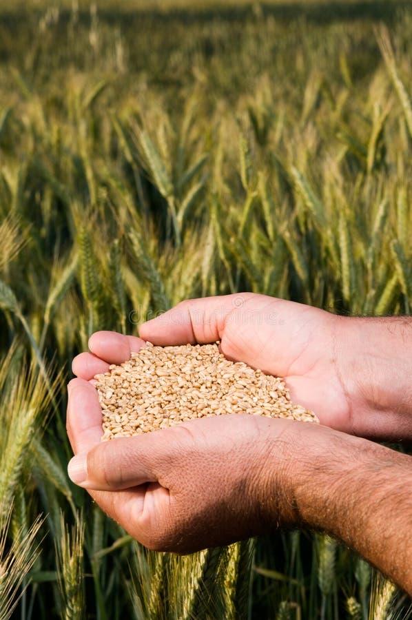 Hände voll der Weizenstartwerte für zufallsgenerator stockbild