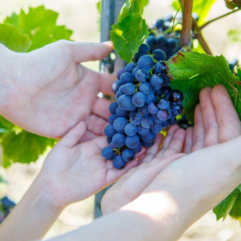 Händer av barnet och vuxna människan med blåa druvor som är klara att skörda arkivbild