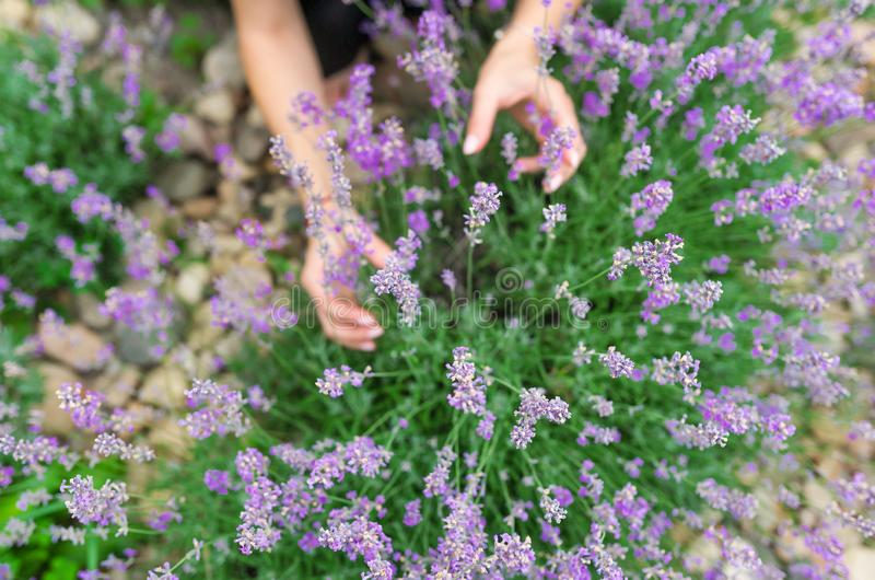 Händer av den hållande lavendeln för den kvinnliga blomsterhandlaren blommar i trädgård royaltyfria bilder
