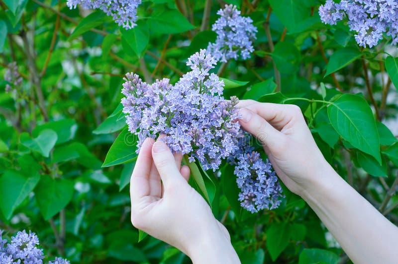 Händer av en flicka i en buske av att blomstra lilor arkivbilder
