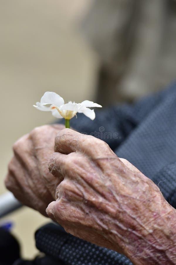 Händer av en gammal gentleman som rymmer en blomma arkivbild