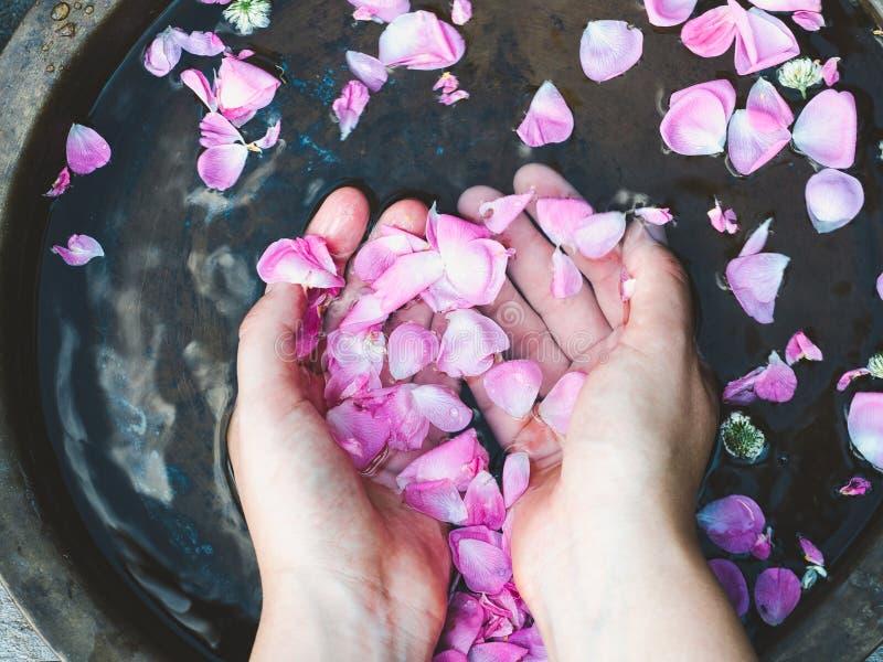 Händer av en kvinna, kronblad av rosor royaltyfria foton