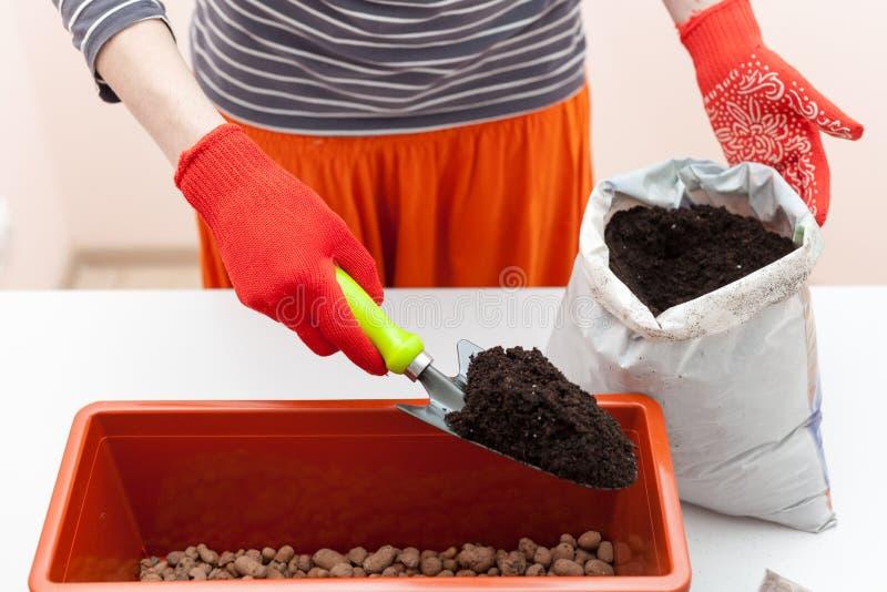 Händer för kvinna` s i handskar häller jorden in i en plast- behållare Förberedelse av frö tomat och peppar för att plantera i gr royaltyfria foton
