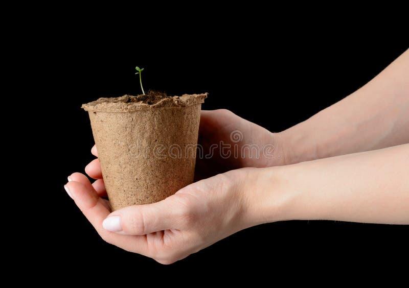 Händer för kvinna` s rymmer en torvkruka med plantor arkivbilder