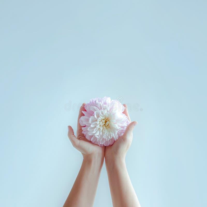 Händer för kvinna` s sträcker ut den delikata blomman arkivbilder