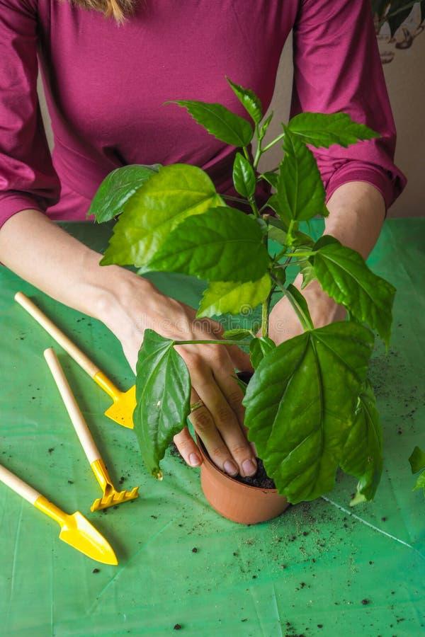 Händer för kvinna` s transplanteras de unga växterna på våren royaltyfri bild
