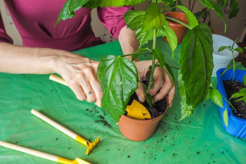 Händer för kvinna` s transplanteras de unga växterna på våren royaltyfria foton