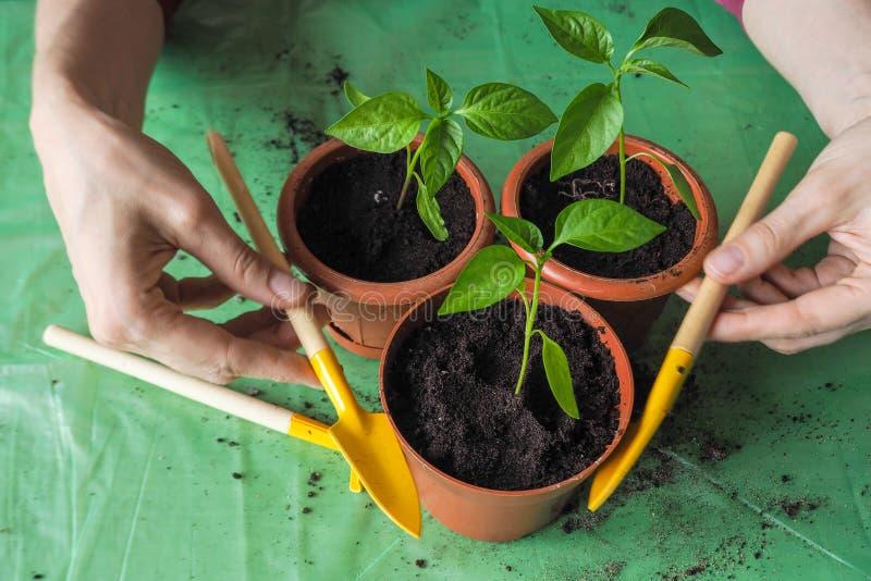 Händer för kvinna` s transplanteras de unga växterna på våren royaltyfri foto