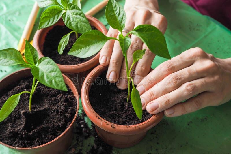 Händer för kvinna` s transplanteras de unga växterna på våren arkivbild
