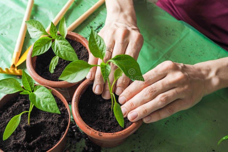 Händer för kvinna` s transplanteras de unga växterna på våren fotografering för bildbyråer