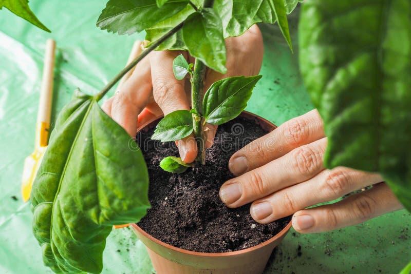 Händer för kvinna` s transplanteras de unga växterna på våren royaltyfri fotografi