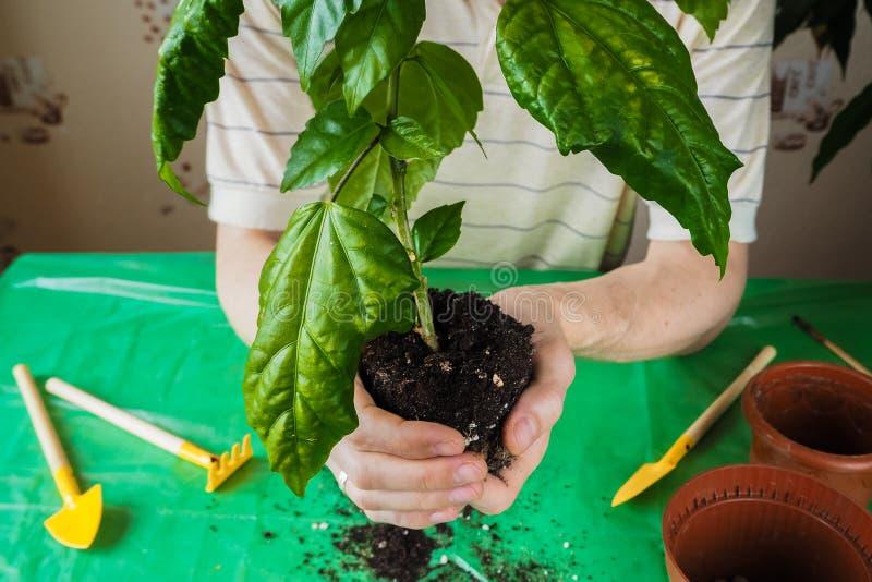 Händer för man` s transplanteras de unga växterna på våren arkivfoton
