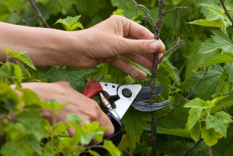 Händer med sekatör som beskär den svarta vinbäret arkivfoto